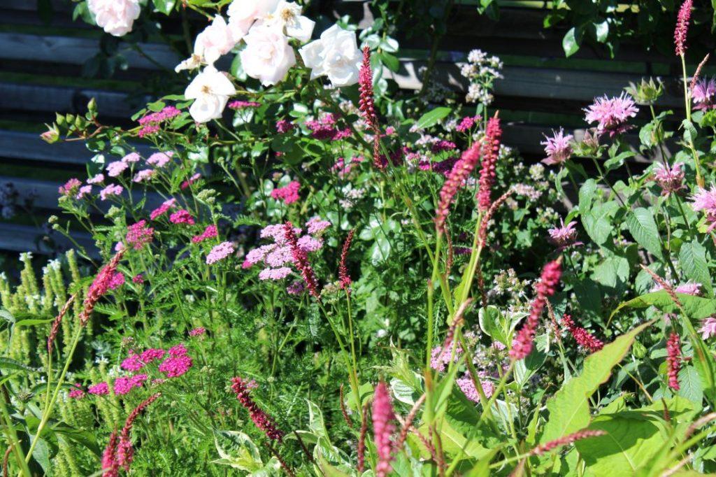 Solelskende planter i rosa