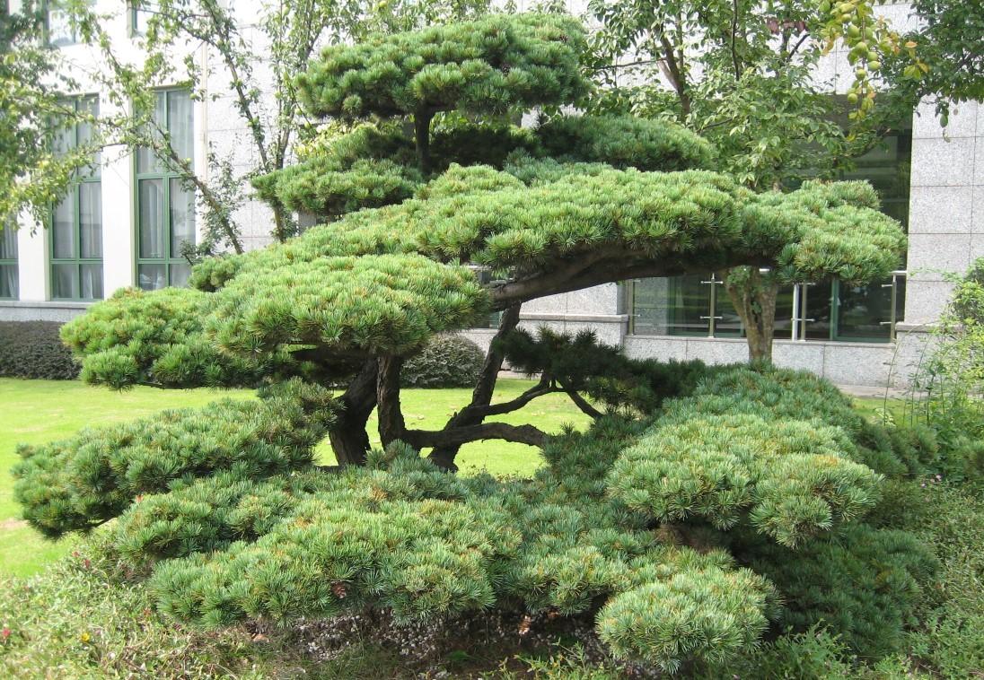 Flott med furu i hagen!