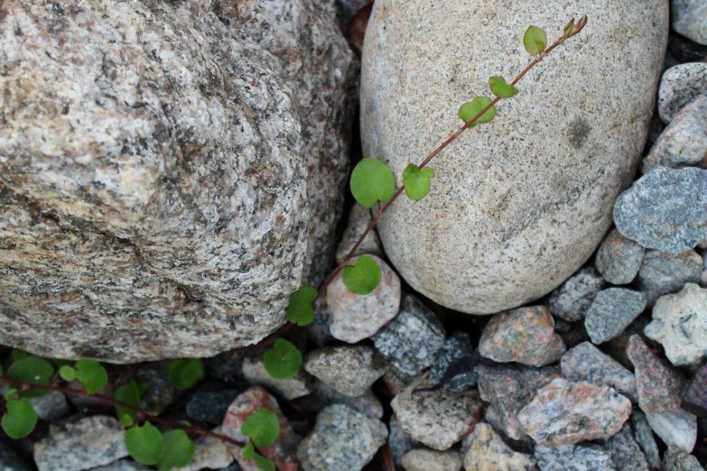 Naturstein med Muehlenbeckia