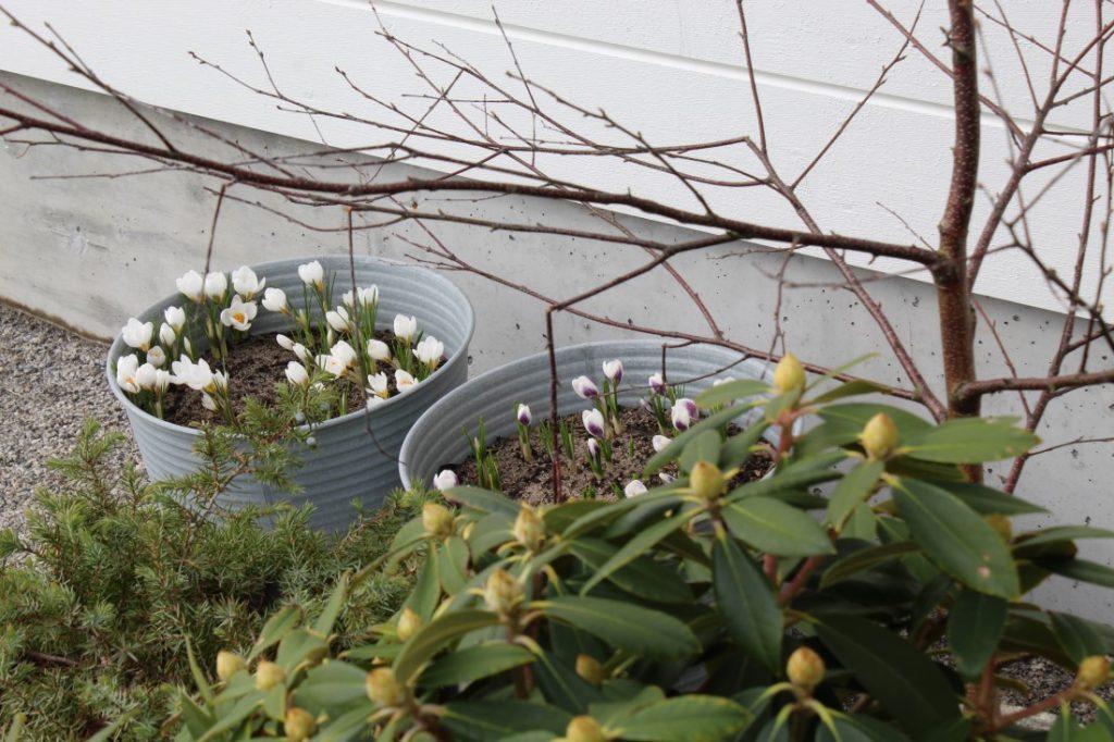 Blomsterløk i krukke, hvit krokus