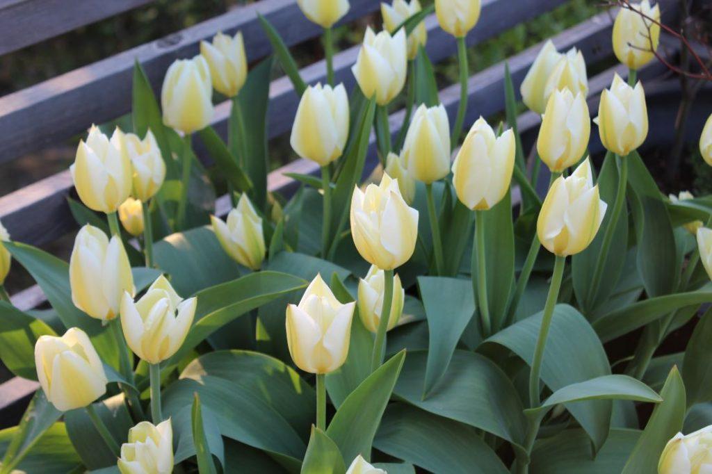 Løk i krukke, Tulipa Purissima