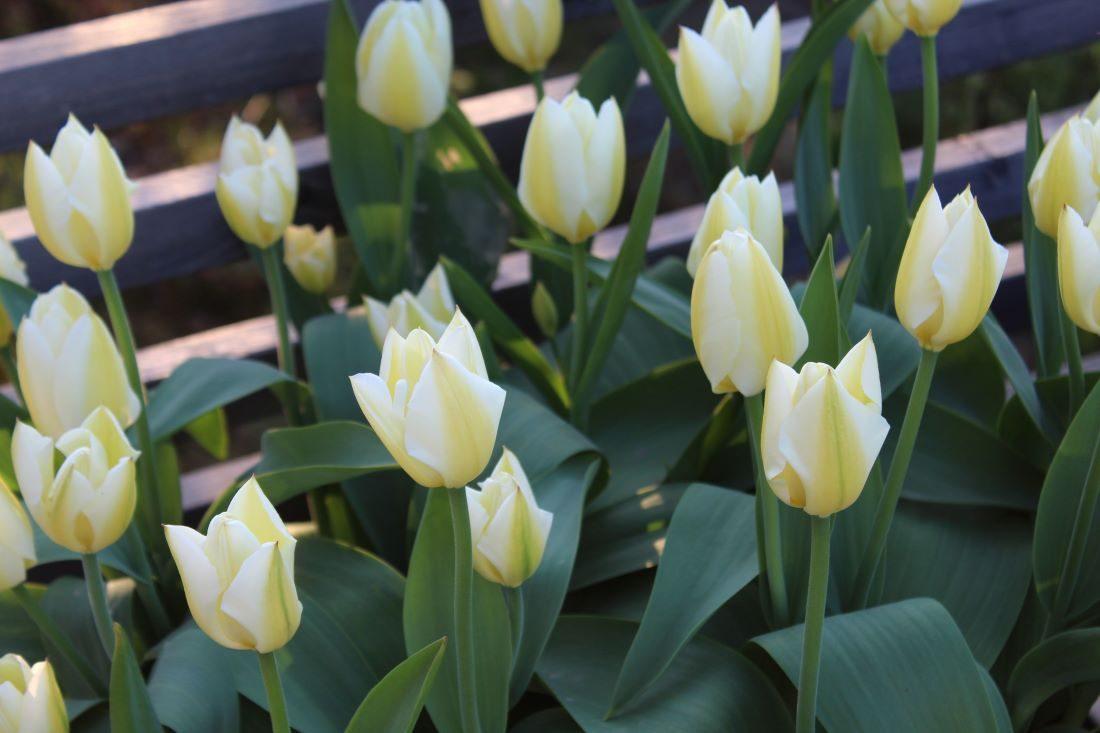 Løk i krukke, Tulipaner