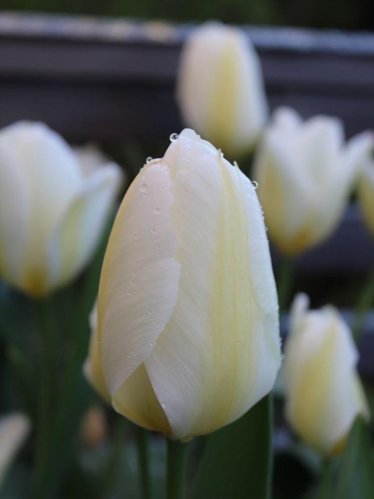 Blomsterløk i krukke, Tulipan, Tulipa Purissima