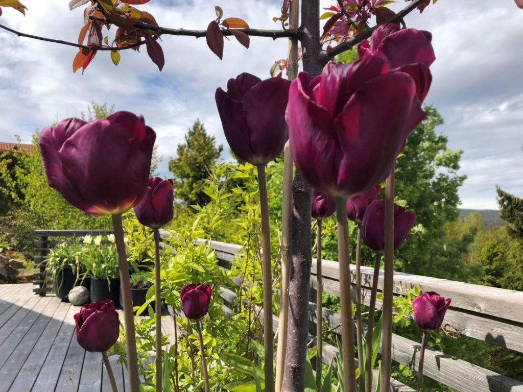 Blomsterløk i krukke på terrassen med tulipaner