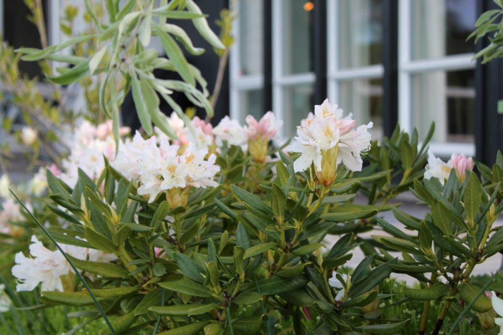 Rhododendron Cunninghams White fin skyggeplante