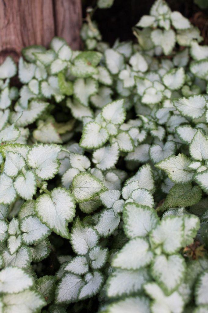 Flekktvetann, skyggeplante