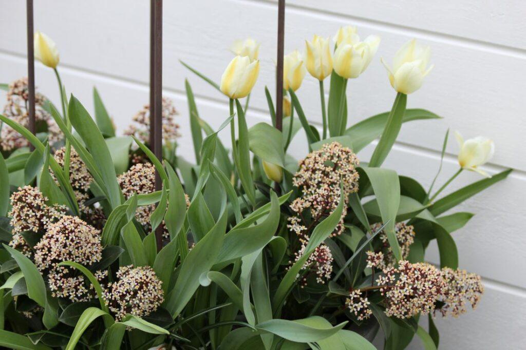 Skimmia i blomst sammen med tulipaner