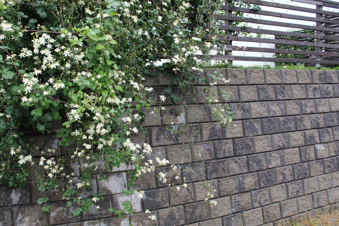 Mur, gjerde og klatreplante, Klematis Summer Snow