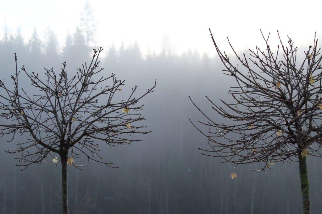 Trær bidrar med struktur hele året, Kulelønn (Acer platonoides 'Globosum') om vinteren.