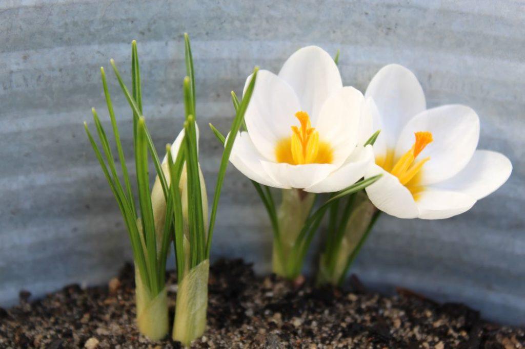 Herlige planter til å bli glad av, Krokus