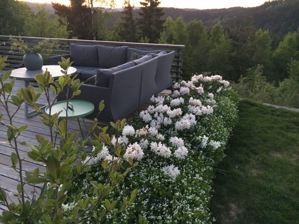 Lav blomstrende hekk av rhododendron