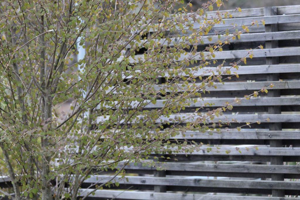 Hjertetre, Cercidiphyllum japonicum i apil