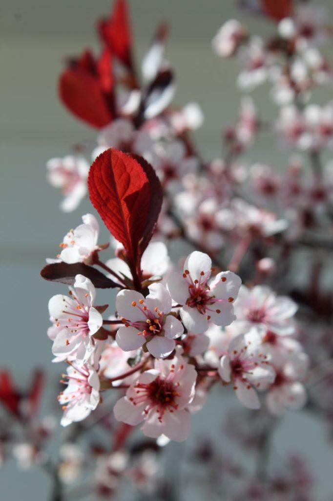 Dvergblodplomme (Prunus cistena) i blomst i mai