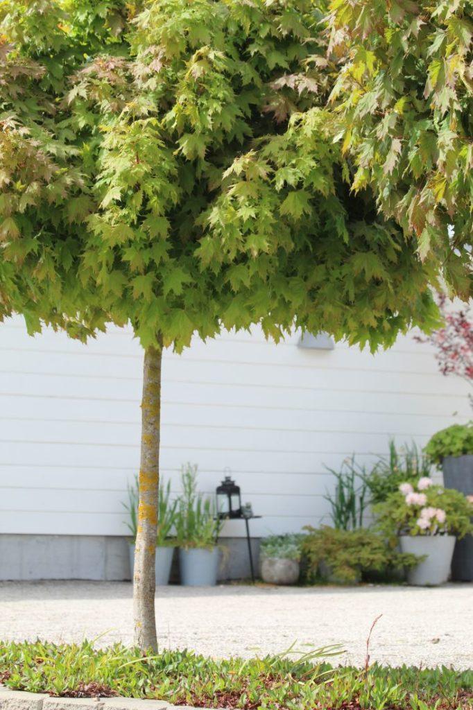 Kulelønn (Acer platonoides 'Globosum')