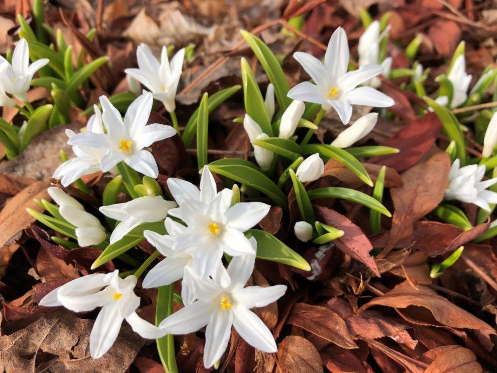 Vårløken snøstjerne - Chionodoxa luciliae 'Alba'