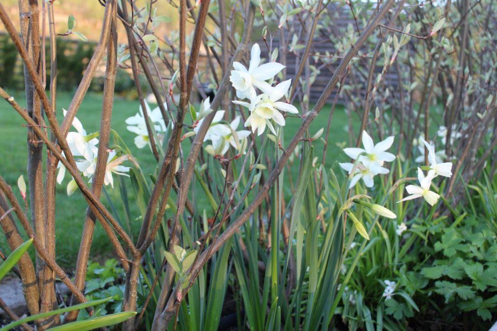 Narsiss - Narcissus 'Thalia' mellom buskene