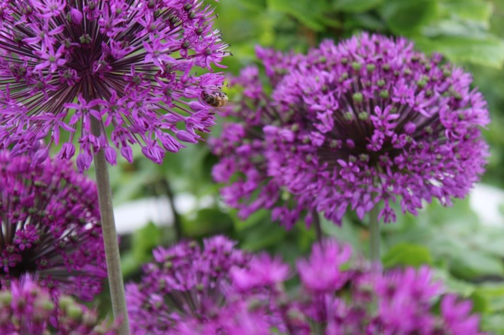 Lille prydløk - Allium aflatunense