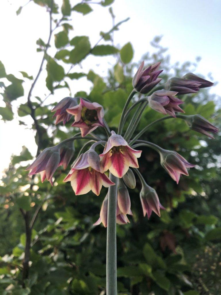 Klokkeblomsten honningløk - Nectaroscordum siculum/Allium bulgaricum