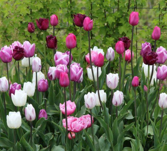 Hvilke løkblomster skal du velge? Tulipaner som her kanskje?