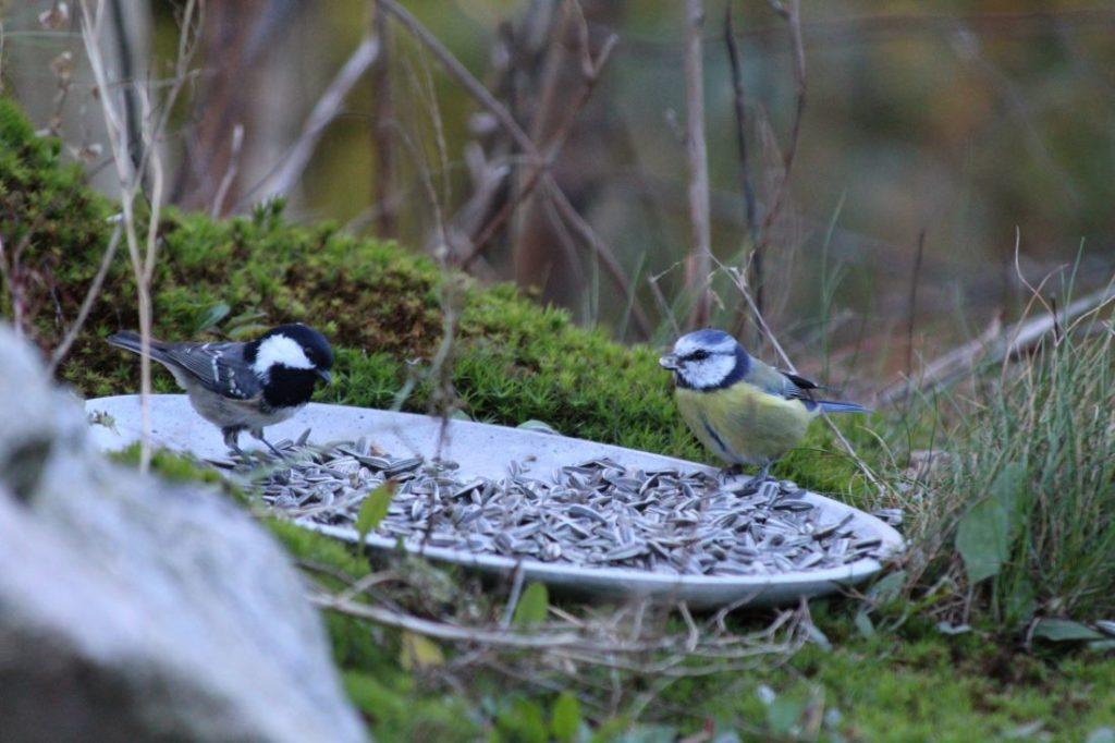 Inviter fuglene inn i hagen, svartmeis og blåmeis i solsikkefatet