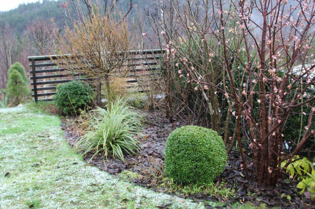 Vintergrønne planter i hagen, her er flere sorter samlet