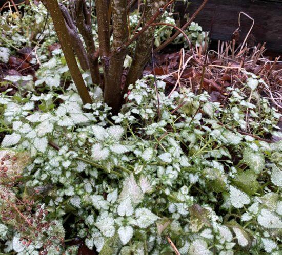 Vintergrønne planter, Flekktvetann i hagen