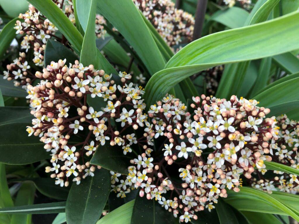 Skimmia japonica blomstrer om våren og lukter nydelig