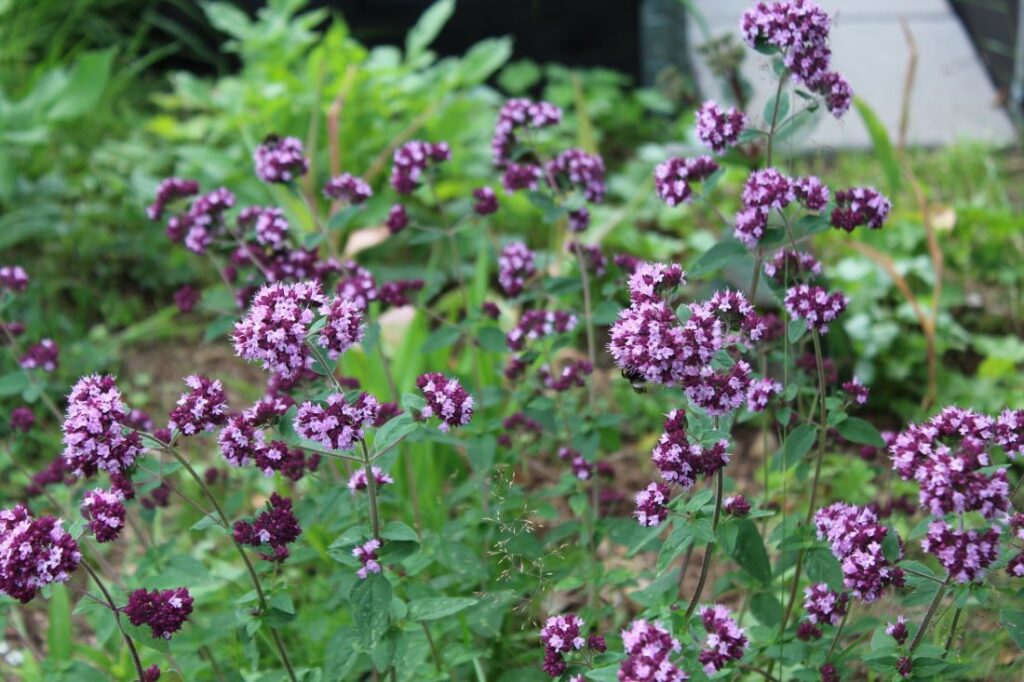 Bergmynte, Origanum vulgare i blomst