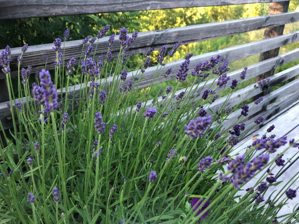 Lavendel er en aromatisk plante med mye lukt