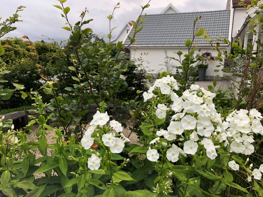 Duft i hagen med høstfloks