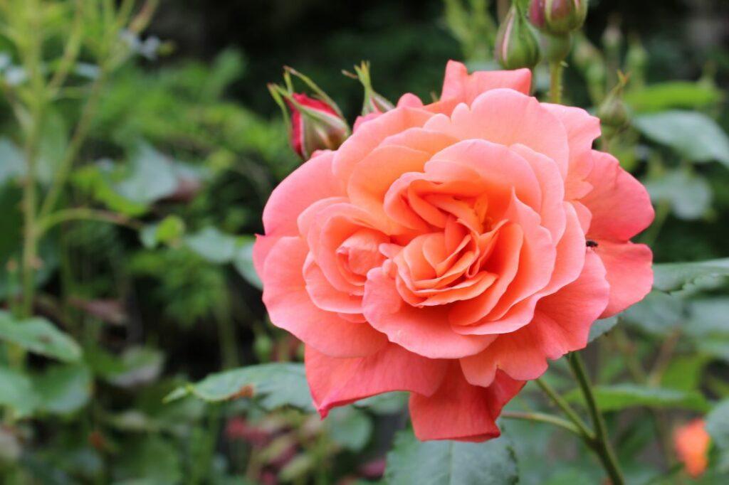 Mange roser dufter som denne som heter Westerland