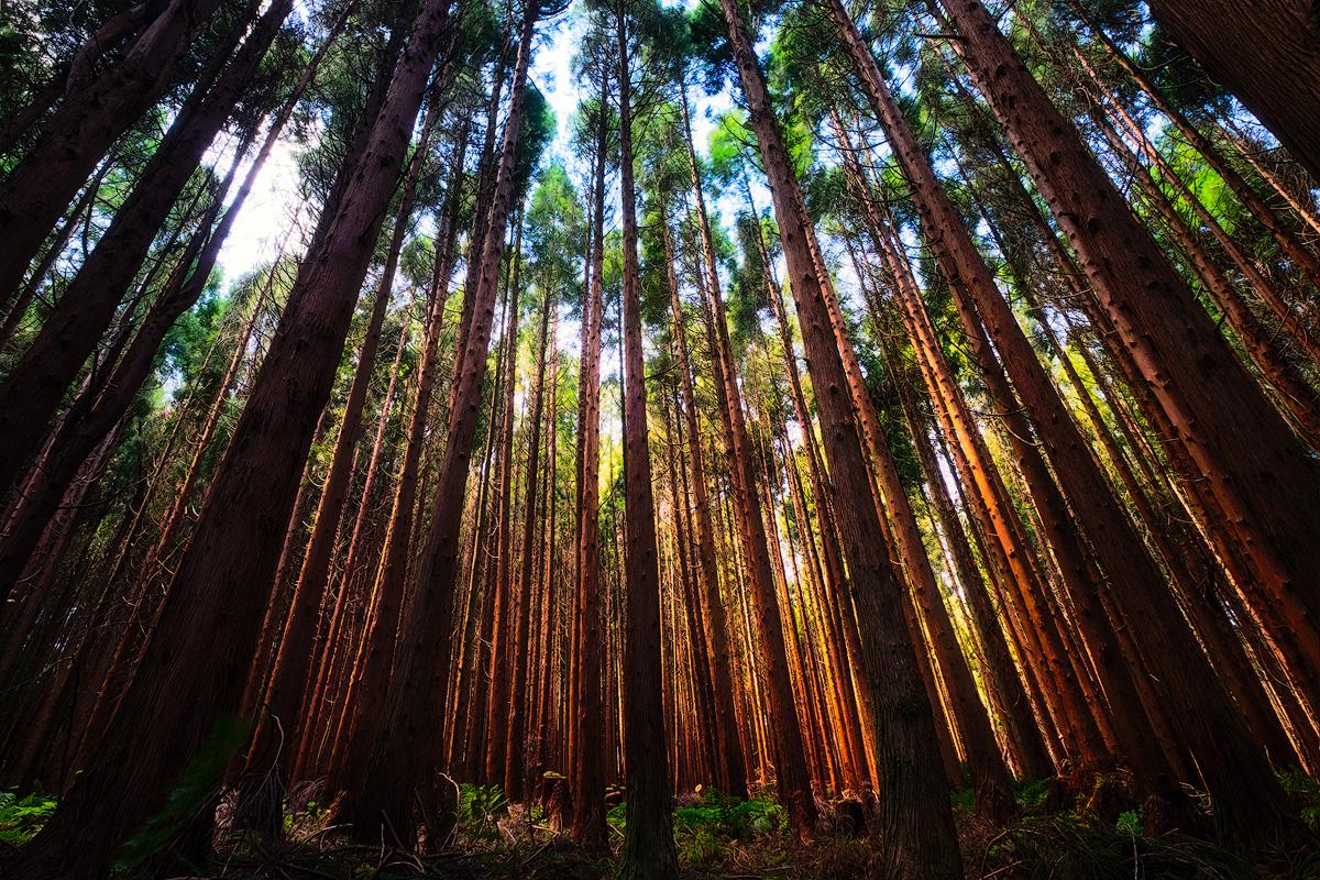 Cedar forest, Flores island, Açores X-T1 + XF10-24mm