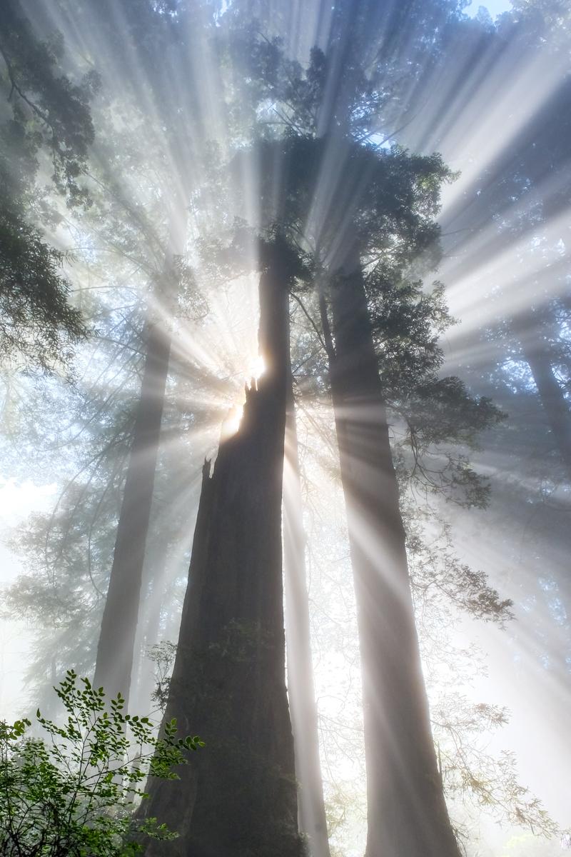 California Beamin' - Light & fog creating light rays in the California Redwoods.