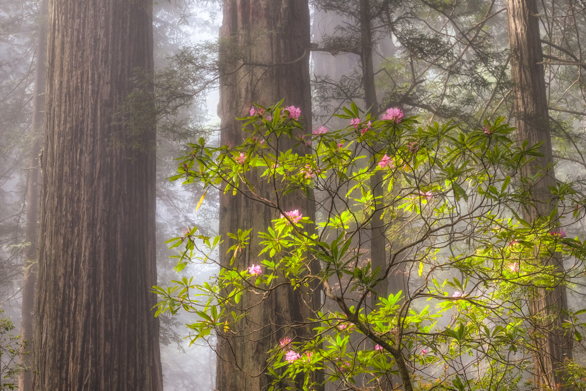 Forest Fog & Blooms - Rhododendron blooms in the morning light and fog in the Del Norte Coast Redwoods State Park, California.