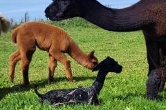 Nyfødt alpakka
