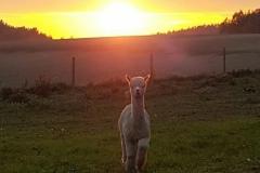 Alpakka i solnedgang
