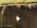 DSC_0617-210501-Branta-canadensis-Canada-goose-Canadagas