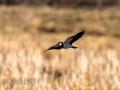 DSC_0624-210501-Northern-lapwing-Tofsvipa-Vanellus-vanellus