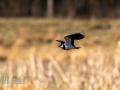 DSC_0625-210501-Northern-lapwing-Tofsvipa-Vanellus-vanellus