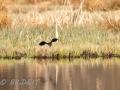 DSC_0634-210501-Northern-lapwing-Tofsvipa-Vanellus-vanellus
