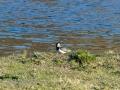 DSC_0650-210501-Northern-lapwing-Tofsvipa-Vanellus-vanellus