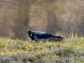 DSC_0682-210501-Corvus-cornix-Grakraka-Hooded-crow-Kraka