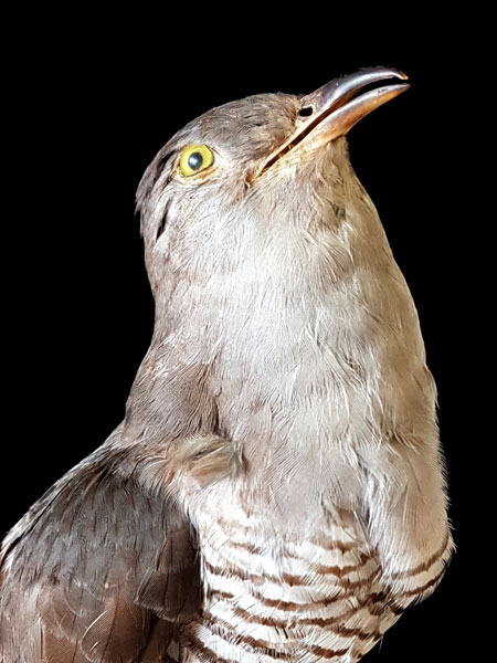 Ella Tahkolahti: Linnustaja