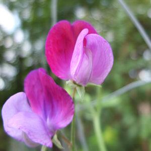 Blomst i Gallo Gartneriet