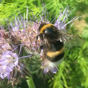 Bi og honningurt