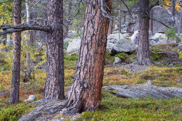 Skog av Staffan Widstrand