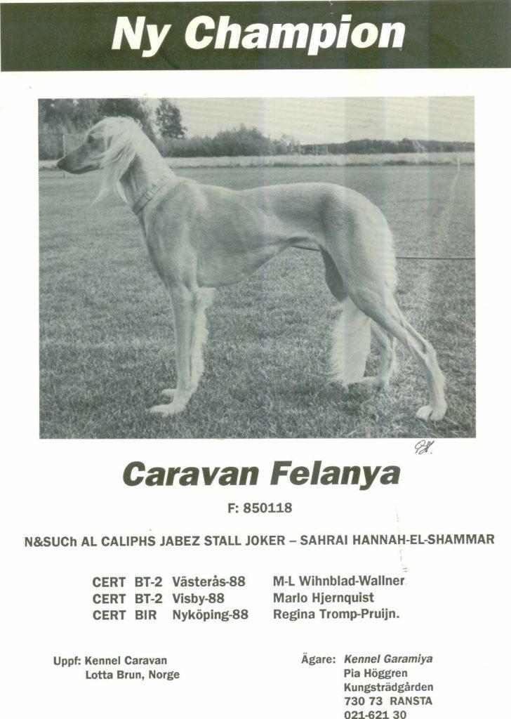 Saluki confirmation champion Caravan Felanya