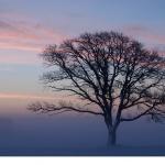 Ek (Quercus robur)