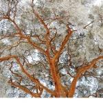 Tall (Pinus sylvestris)