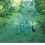 Fälthare (Lepus europaeus)